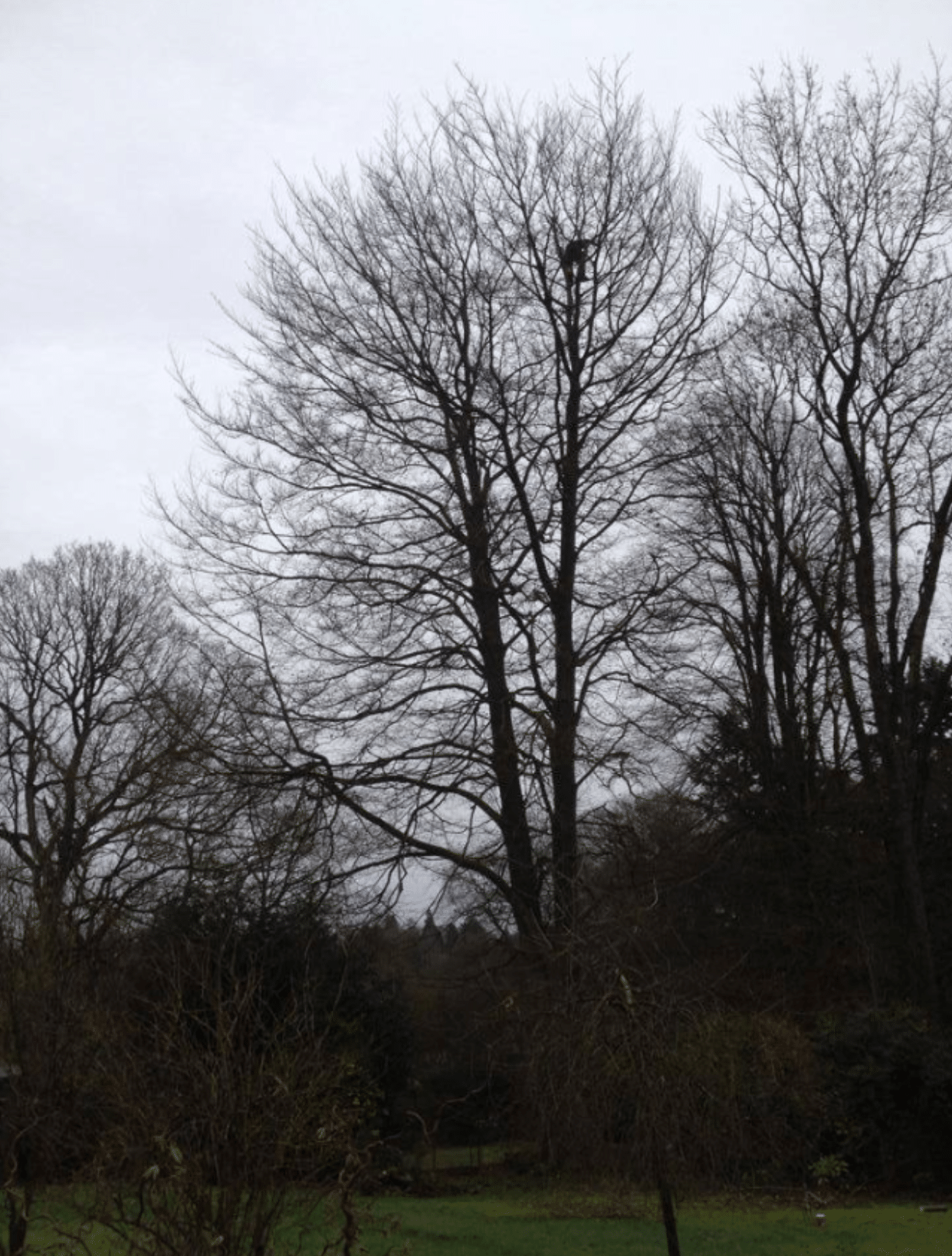 Before-Ash Tree Crown Reduction