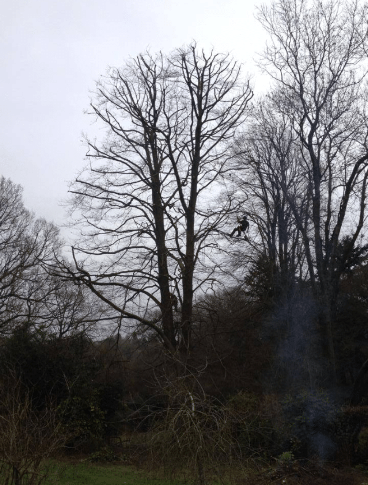 After-Ash Tree Crown Reduction
