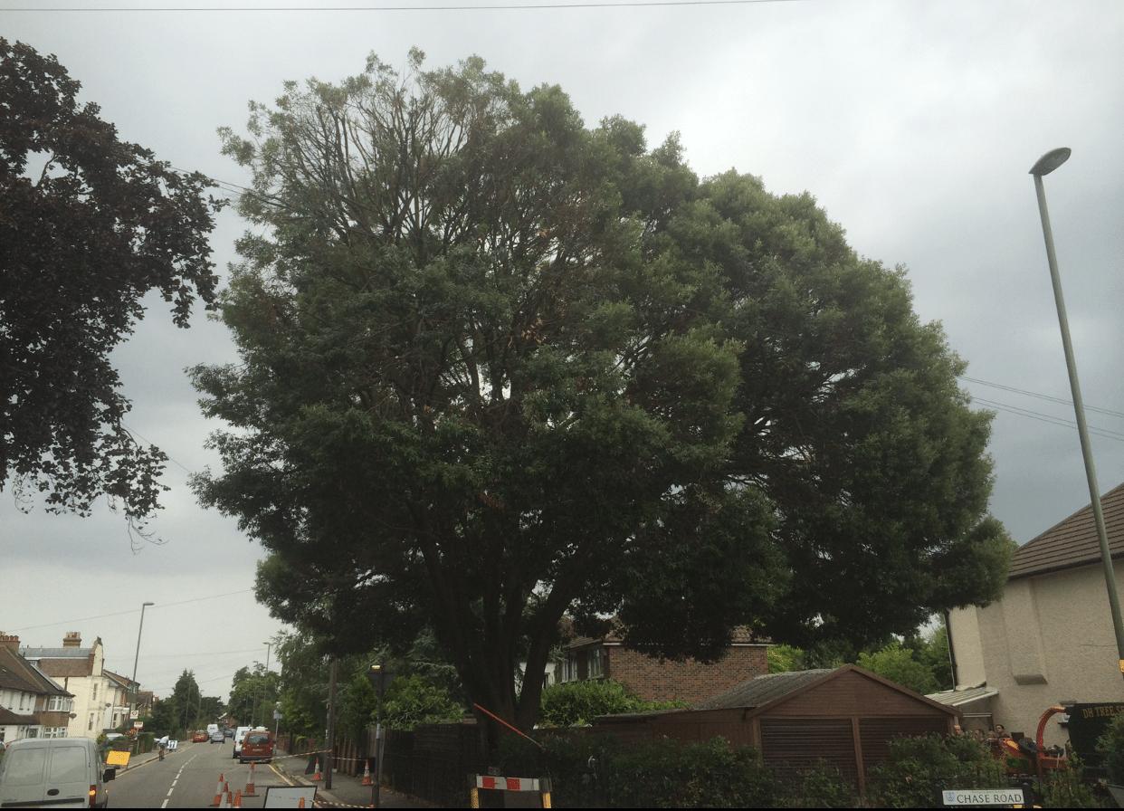 After-Holm Oak