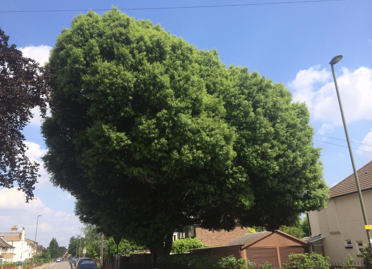 Before-Holm Oak