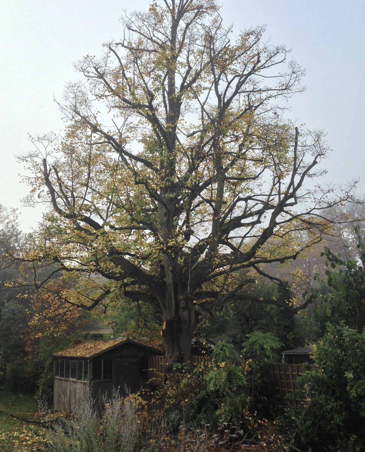 After-Lime tree