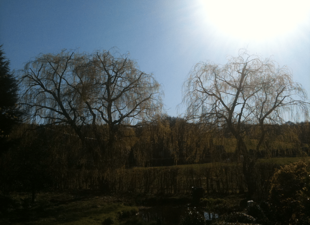 After-Willow Tree