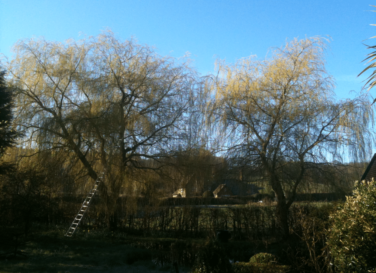 Before-Willow Tree