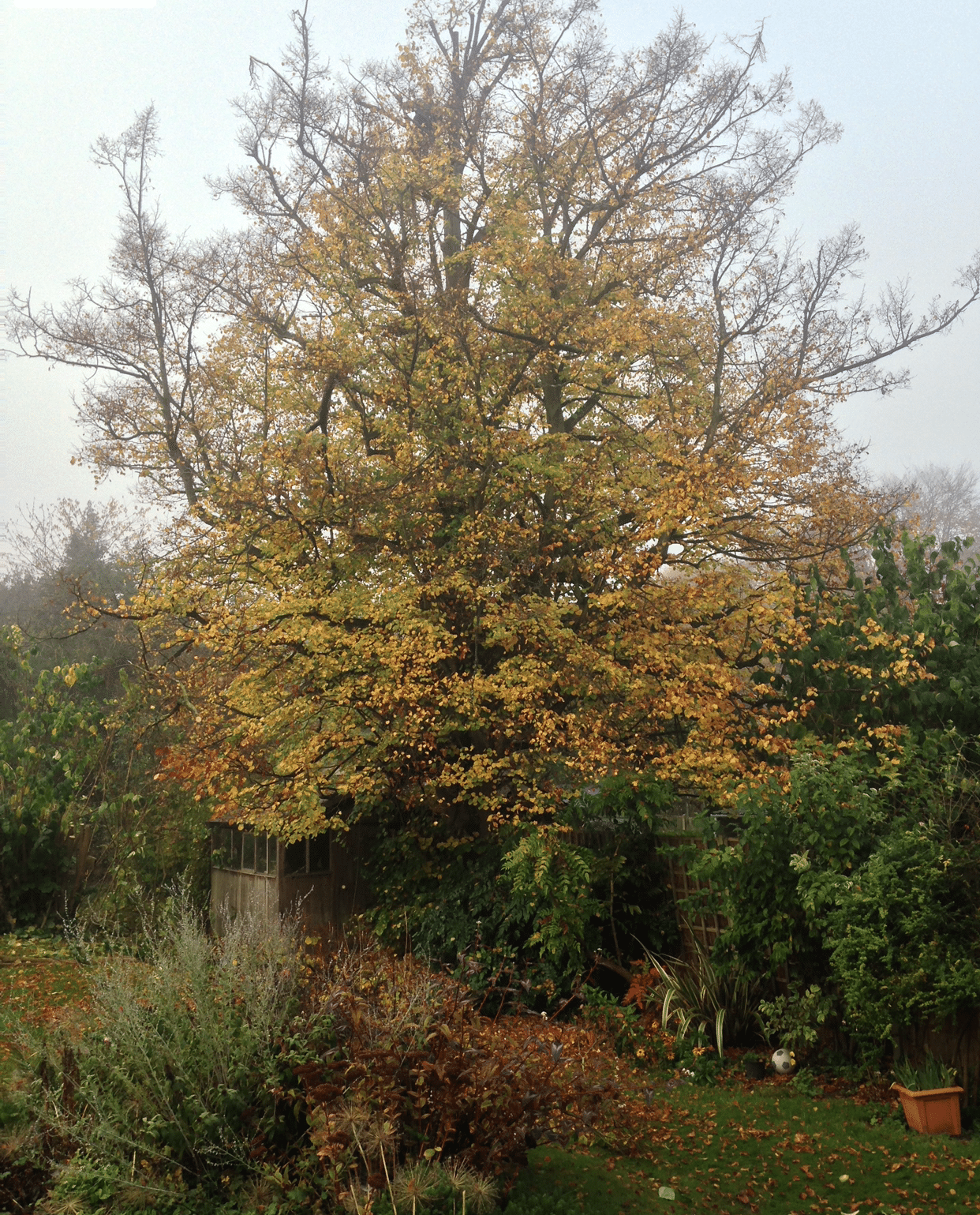 Before-Lime tree