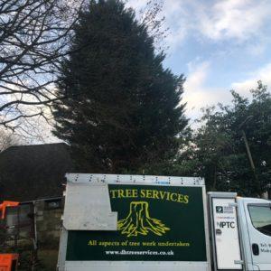 conifer-removal-surrey1