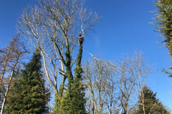 ash-tree-felling