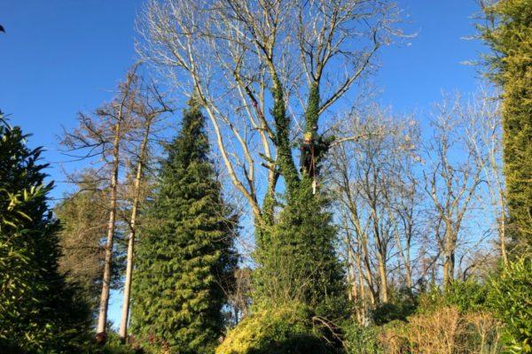 ash-tree-removal